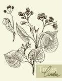 Folhas, flores e frutos do vetor do Linden Fotos de Stock