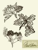 Folhas, flores e frutos do vetor do viburnum Imagem de Stock