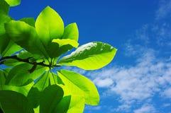 Folhas frescas Fotos de Stock Royalty Free