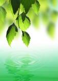 Folhas frescas Foto de Stock