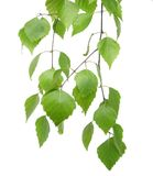 Folhas frescas Imagem de Stock