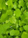 Folhas frescas Foto de Stock Royalty Free