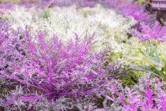 Folhas frescas da alface Alface de folha vermelha e roxa e lett verde imagens de stock royalty free