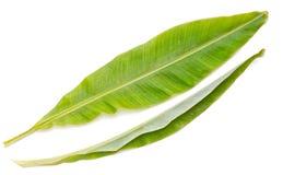 Folhas frescas da banana. Imagens de Stock