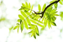 Folhas frescas da cinza de montanha na floresta Foto de Stock