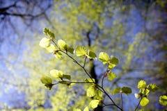 Folhas frescas da faia Fotografia de Stock Royalty Free