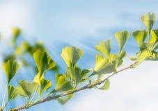 Folhas frescas da Ginkgo-Árvore Imagens de Stock