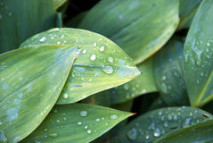 Folhas frescas da manhã Imagens de Stock Royalty Free
