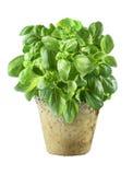 Folhas frescas da manjericão Imagens de Stock