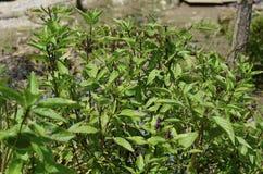 Folhas frescas da manjericão. Fotografia de Stock Royalty Free
