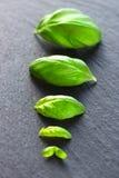 Folhas frescas da manjericão Fotografia de Stock