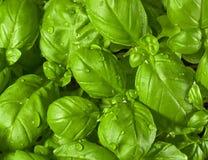 Folhas frescas da manjericão fotos de stock