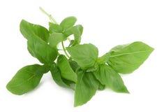 Folhas frescas da manjericão no fundo branco Fotografia de Stock
