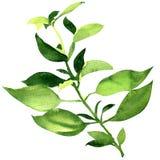 Folhas frescas da manjericão isoladas Foto de Stock