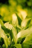 Folhas frescas da mola Fotografia de Stock