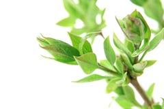Folhas frescas da mola Foto de Stock Royalty Free