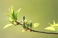 Folhas frescas da mola Fotos de Stock Royalty Free