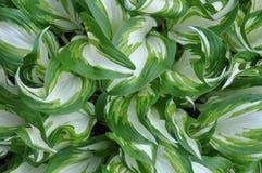 Folhas frescas da mola da planta dos hostas fotografia de stock
