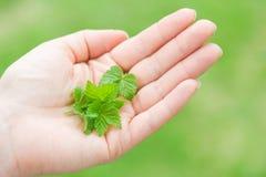 Folhas frescas da mola do corinto preto disponível Foto de Stock Royalty Free