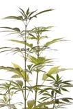 Folhas frescas da planta de marijuana no fundo branco Foto de Stock Royalty Free