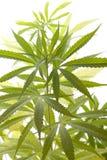 Folhas frescas da planta de marijuana no fundo branco Fotografia de Stock Royalty Free