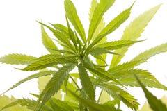 Folhas frescas da planta de marijuana no fundo branco Imagens de Stock Royalty Free