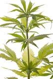 Folhas frescas da planta de marijuana no fundo branco Imagem de Stock Royalty Free
