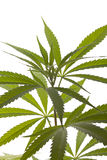 Folhas frescas da planta de marijuana no fundo branco Foto de Stock