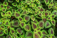 Folhas frescas da planta no fundo do jardim Imagem de Stock Royalty Free