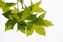 Folhas frescas das árvores planas foto de stock