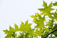 Folhas frescas das árvores planas imagem de stock