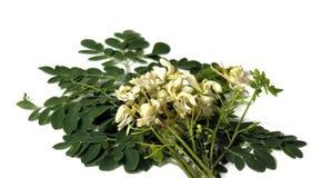 Folhas frescas de moringa Imagens de Stock