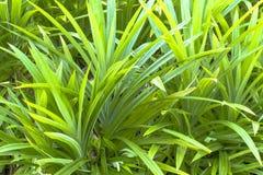 Folhas frescas de Pandan, erva tailandesa Foto de Stock