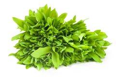 Folhas frescas de Ramson Imagem de Stock Royalty Free