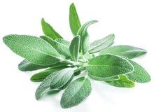 Folhas frescas de veludo do sábio do jardim no fundo branco imagens de stock royalty free