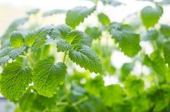 Folhas frescas do bálsamo Fotografia de Stock