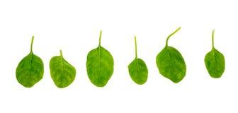 Folhas frescas do espinafre Imagens de Stock
