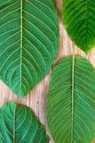 Folhas frescas do kratom Imagens de Stock