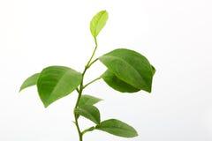 Folhas frescas do limão Imagem de Stock Royalty Free