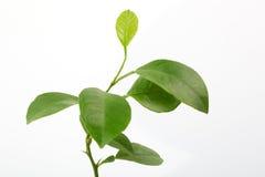 Folhas frescas do limão Imagens de Stock Royalty Free