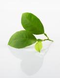 Folhas frescas do limão Fotografia de Stock Royalty Free