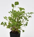 Folhas frescas do Lovage Fotos de Stock Royalty Free