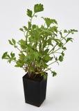 Folhas frescas do Lovage Imagem de Stock