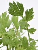 Folhas frescas do Lovage Fotografia de Stock Royalty Free