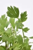 Folhas frescas do Lovage Fotografia de Stock