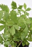 Folhas frescas do Lovage Imagens de Stock Royalty Free
