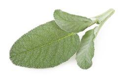 Folhas frescas do sábio Imagem de Stock Royalty Free