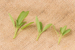 Folhas frescas do sábio Fotos de Stock Royalty Free