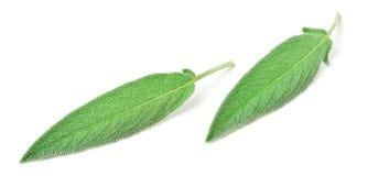 Folhas frescas do sábio isoladas no branco fotos de stock
