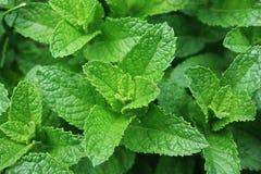 Folhas frescas do Spearmint Imagens de Stock